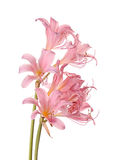 Pink flowers of Lycoris squamigera isolated against a white back. Two stems of pink-flowered Lycoris squamigera, also called resurrection flower, surprise lily Stock Photos