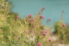 Pink flowers lying near lake. Focus on the flower Royalty Free Stock Image