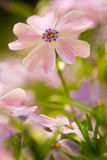 Pink flowers macro background royalty free stock images