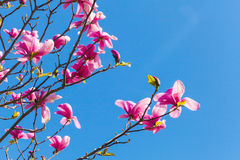 Pink flowers of magnolia tree on blue sky Royalty Free Stock Image