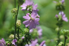 Pink Flowers Of the Mallow Family Stock Photo