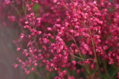 Pink flowers. Many small pink flowers on the background stock images