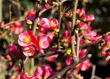 Pink flowers of maule`s quince in spring - chaenomeles japonica, rosaceae, rosales Stock Image