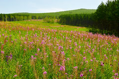 The pink flowers on the meadows Stock Images