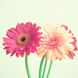 Pink flowers on mint. Pink flowers over mint background royalty free stock photos