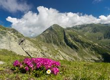 Pink flowers in the mountains Stock Image