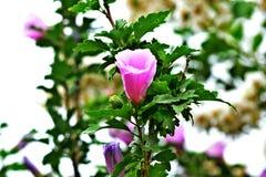 Pink Flowers near Lake Hefner. In OK City Stock Images