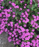 Pink flowers near to the path Royalty Free Stock Photos