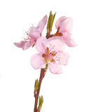 Pink flowers of a nectarine against white Royalty Free Stock Photo