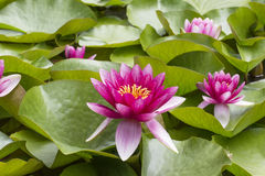 Pink flowers of  nenuphar Nymphaea with leaves Royalty Free Stock Image
