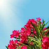 Pink Flowers Nerium oleander Stock Photos