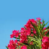 Pink Flowers Nerium oleander Stock Photography