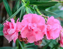 Pink flowers of nerium oleander, evergreen shrub, family Apocyna Royalty Free Stock Images