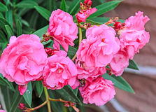 Pink flowers of nerium oleander, evergreen shrub, family Apocyna Stock Images