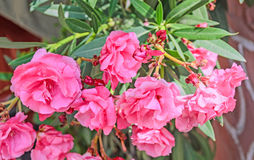 Pink flowers of nerium oleander, evergreen shrub, family Apocyna Stock Image