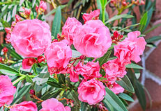 Pink flowers of nerium oleander, evergreen shrub, family Apocyna Stock Photo