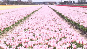 Pink flowers in The Netherlands. Pink flowers in a field near The Keukenhof in The Netherlands stock video