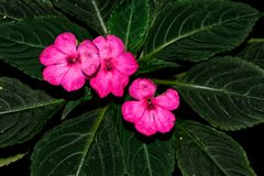 Pink flowers of New Guinea impatiens royalty free stock images