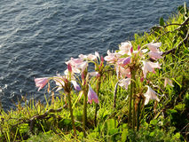 Pink Flowers on Ocean Cliff Stock Photo