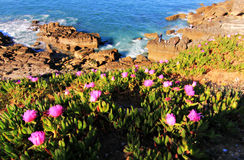 Pink Flowers and Ocean Cliffs Royalty Free Stock Photos