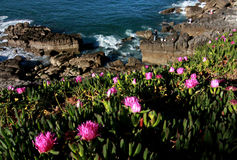 Pink Flowers and Ocean Cliffs Stock Photography