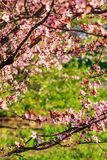 Pink Flowers Of Apple Tree On Blur Background Stock Photo