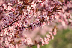 Pink Flowers Of Apple Tree On Blur Background Royalty Free Stock Images