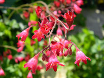 Pink Flowers Of Heuchera Close Up Stock Photography