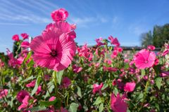 Pink Flowers Of Lavatera In Bloom Against The Blue Sky. Stock Photography