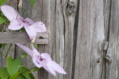 Pink flowers on an old wooden wall. Pink flowers with green leaves ion an old wooden wall royalty free stock photography