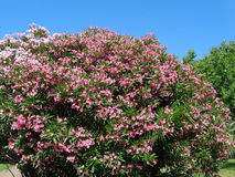 Pink flowers of oleander, blooming bush against blue sky Stock Images