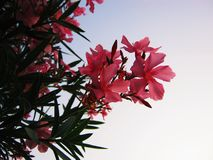 Bushes of pink oleander with flowers and sky royalty free stock image