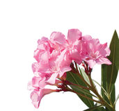 Pink flowers of oleander. Stock Image