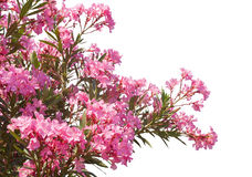 Pink flowers. Stock Image