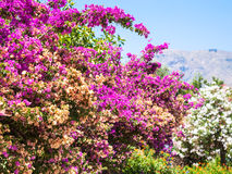 Pink flowers of oleander in Sicily Stock Images