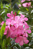 Pink flowers of oleander Stock Photos