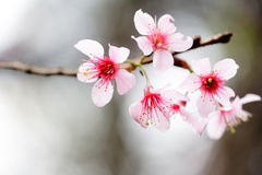 Pink Flowers On The Twigs Royalty Free Stock Photos