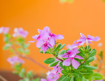 Pink flowers on orange background. royalty free stock photo