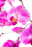 Pink flowers orchid Royalty Free Stock Photo