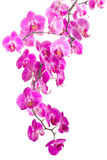 Pink flowers orchid. On white background