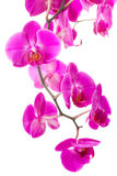 Pink flowers orchid Royalty Free Stock Photos