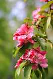 Pink Flowers of Ornamental Grab Apple Royalty Free Stock Photo