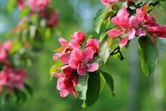 Pink Flowers of Ornamental Grab Apple Royalty Free Stock Photo