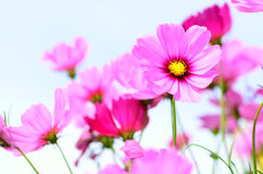 Pink flowers over blue sky. In morning time Royalty Free Stock Photo