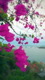 Pink flowers over an Island view Stock Photo