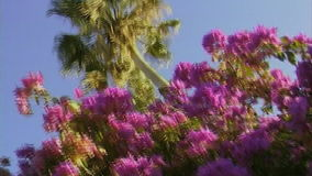 Pink flowers and palm against the blue sky. Exotic flowers and a single  palm on a clear blue sky. Morocco stock footage