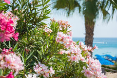 Pink flowers, palm tree and sea views on the coast of Cyprus Royalty Free Stock Photography