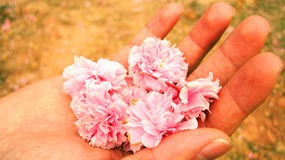 Pink flowers in the palm of your hand Royalty Free Stock Image