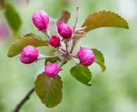 Pink flowers of paradise apple tree Royalty Free Stock Photo