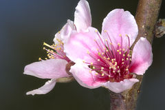 Pink flowers of a Peach Prunus persica tree Royalty Free Stock Photography